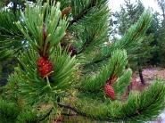 Pine Tree Upclose