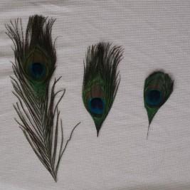 peacockfeathers1